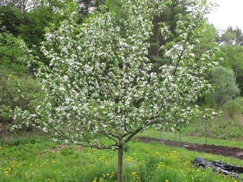 prune tree pruning trees henry homeyer