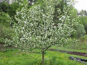 Pruning Trees   Henry Homeyer