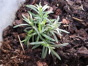 Plant De Lavande : planter une lavande ~ Nature-et-papiers.com Idées de Décoration