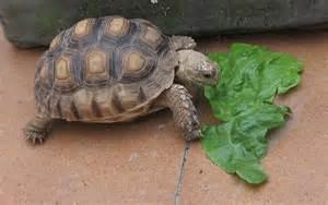 si鑒es de alimentación de tortugas terrestres herbívoras cómo le va la vida com