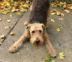 do airedale puppies shed non shedding dogs a list of small mid sized and large