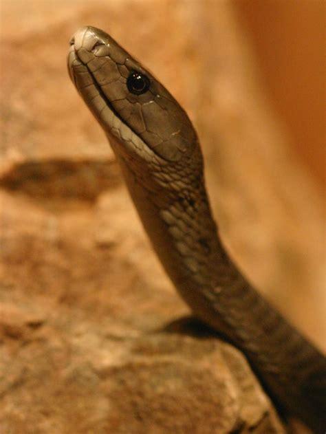 black mamba snake abc news australian broadcasting