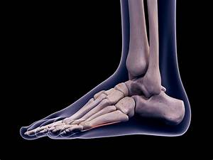 Anatomy And Physiology Of The Ankle For Sports Medicine