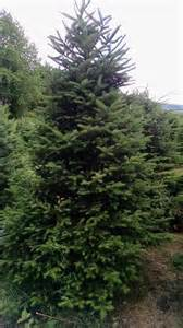 Balsam Fir Christmas Tree Farm