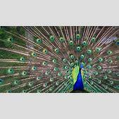 Peacock Colorfu...