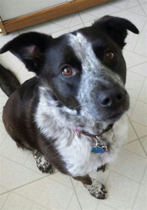 blue heeler border collie looks like someone i used to