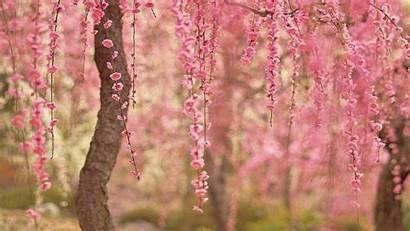 Blossom Cherry Desktop Computer Backgrounds Wallpapers Background