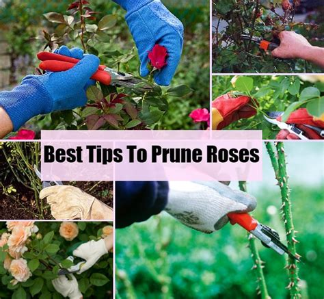 how to prune roses how to prune roses diycozyworld home improvement and garden tips