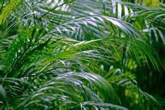 Kentia Palme Braune Blätter : areca palme bekommt braune bl tter woran kann 39 s liegen ~ Watch28wear.com Haus und Dekorationen