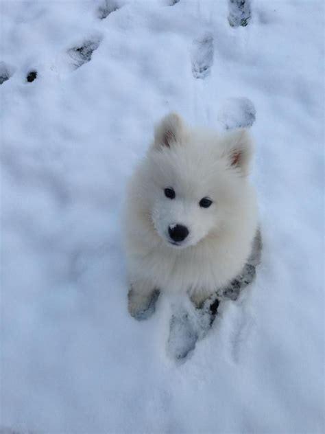 Best 25 Samoyed Puppies Ideas On Pinterest Samoyed Dog