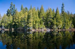 Boreal Forest Coniferous Trees