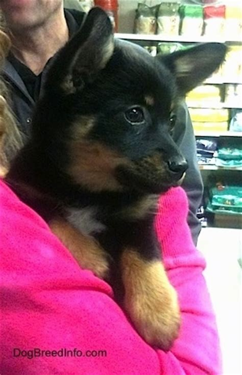 pomchi dog breed pictures
