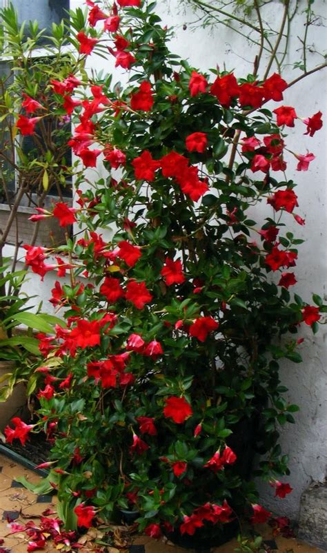 vining plants for sun crimson mandevilla also looks nice in white blog suggests planting in pot with iron cone
