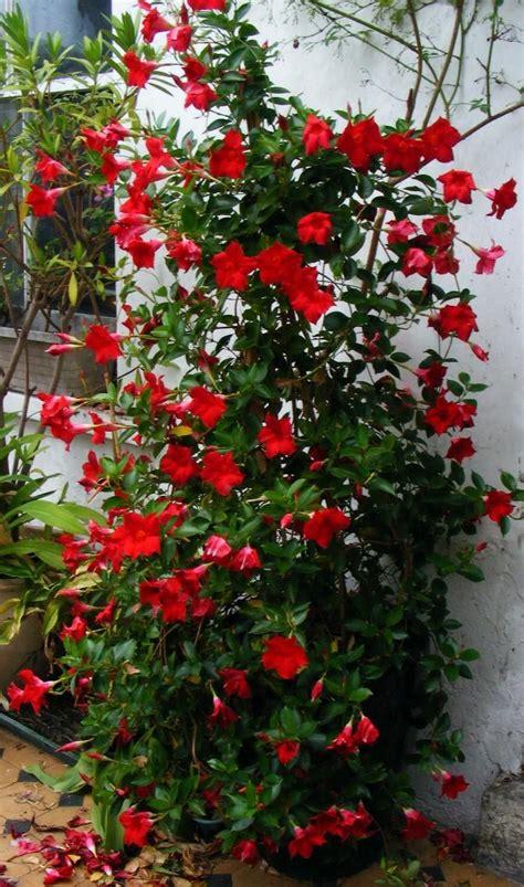 24 Best Images About Mandevilla On Pinterest Gardens