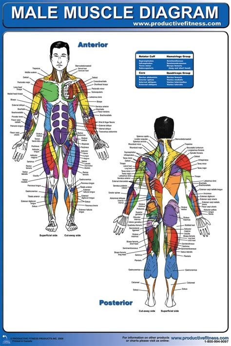 muscle diagram  large images