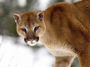 Mountain Lion (Cougar). | pgcps mess - Reform Sasscer ...