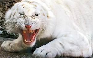 Enojado tigre blanco fondos de pantalla | Enojado tigre ...
