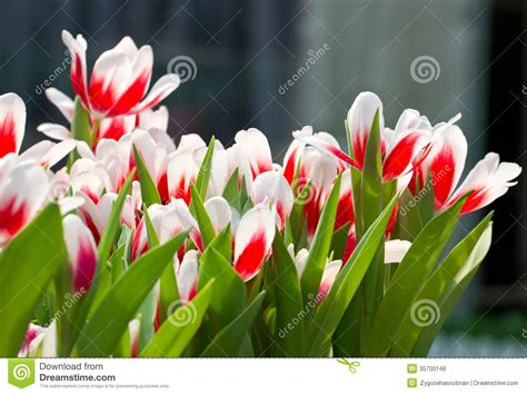 tulip flower garden free stock red white tulip flowers stock photo image of form flower 35700148