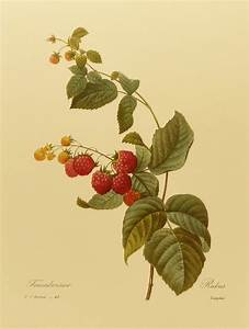 Vintage Red Raspberry, Redoute Berry Botanical (Book Plate ...