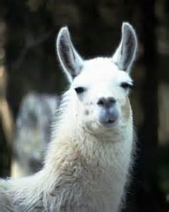 Llama Lama Animal
