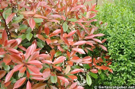 glanzmispel pflege pflanzen duengen schnitt