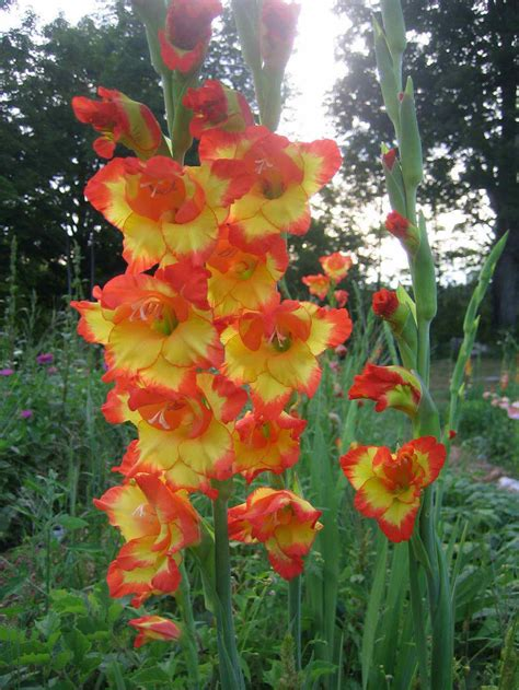 pics of gladiolus flower picture gladiolus flower 1