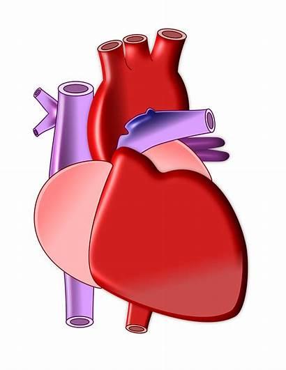 Heart Cardiac Biomed Pediatric Research Biomedical Engineering