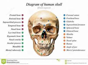 Diagrama Humano Del Cr U00e1neo Imagen De Archivo  Imagen De