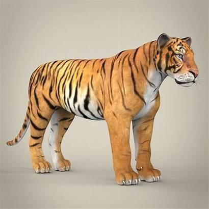 Tiger Bengal Realistic Models West