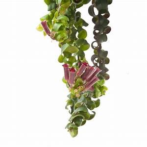 Plantes Et Jardin : aeschynanthus 39 scoubidou 39 plantes et jardins ~ Melissatoandfro.com Idées de Décoration
