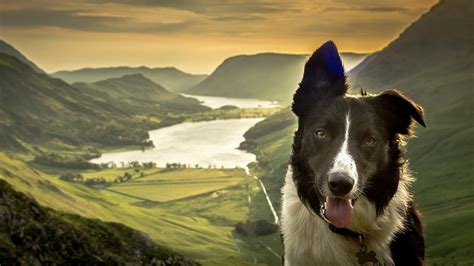 border collie dog face nature lake mountain valley