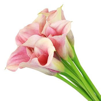 peach mini calla lily bulk flower