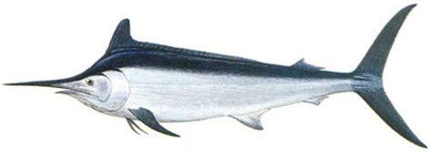 fish   day black marlin