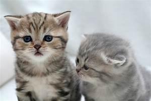 Mit Katze Umziehen : britisch kurzhaar vom sunshinehouse kitten ~ Michelbontemps.com Haus und Dekorationen