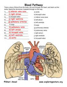Blood Flow through Heart and Lungs