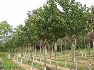 Großen Apfelbaum Kaufen : gro e prinzessinkirsche kaufen gro er kirschbaum prinzessinkirsche gro en s kirschbaum ~ Frokenaadalensverden.com Haus und Dekorationen