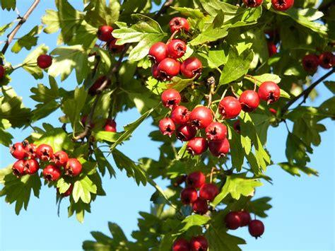 Rote Pilze Im Garten by Rote Beeren Im Herbst Foto Bild Pflanzen Pilze