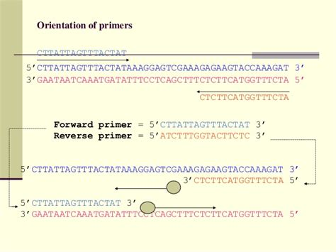 pcr primer design how to select primers for polymerase chain reaction