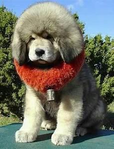 Big fluffy puppy | Fluffy animals! | Pinterest | Puppys ...
