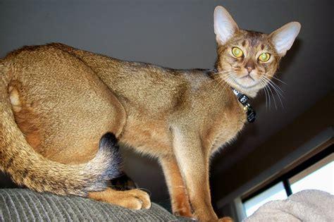Abyssinian Cat  Information, Facts, Habitat, Behavior