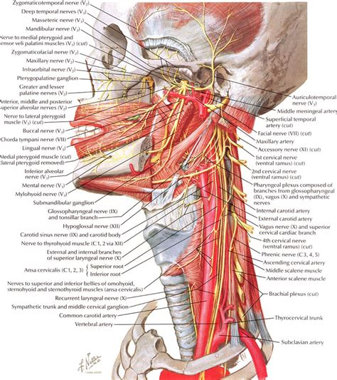 The splenius muscles both originate from the. Anatomy of the neck and pharyngeal region - Netter (With images)   Human body anatomy, Human ...