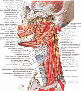 Anatomy Of The Neck And Pharyngeal Region