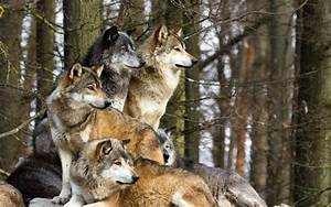 Wolf Pictures - Cool Images of Wolves