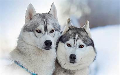 Huskies Siberian Wallpapers Tablet