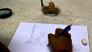Biology  06 - Drawing Biological Diagram  Ginger