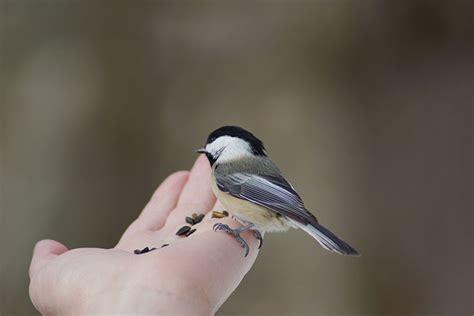 canadian wildlife federation can birds taste things