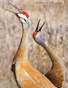 Sandhill Crane Bird Species