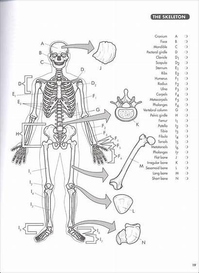 Coloring Anatomy Princeton Human Greys 4ed Anatomical