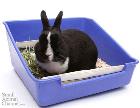 how often and how well you clean your rabbit s litter box can affect his health and the smell of