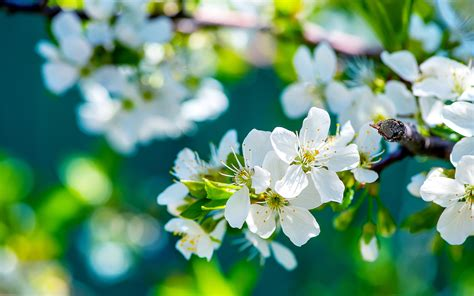 blue flower wall flowers apple wallpaper photos 14076 wallpaper